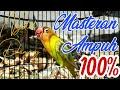 Masteran Ampuh  Lovebird Ngekek Lovebird Ngetik Lovebird Konslet Lovebird Gacor Lovebird Fighter  Mp3 - Mp4 Download