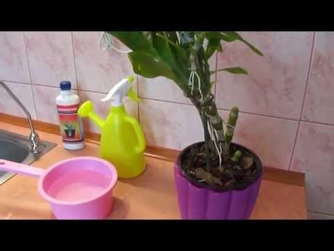 Как поливать орхидею дендробиум.