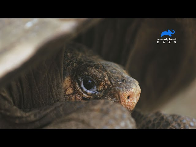 全球最後一隻, 滅絕百年陸龜現身 !  《滅絕動物大追蹤第2季》