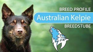 Australian Kelpie [2020] Breed, Temperament & Personality
