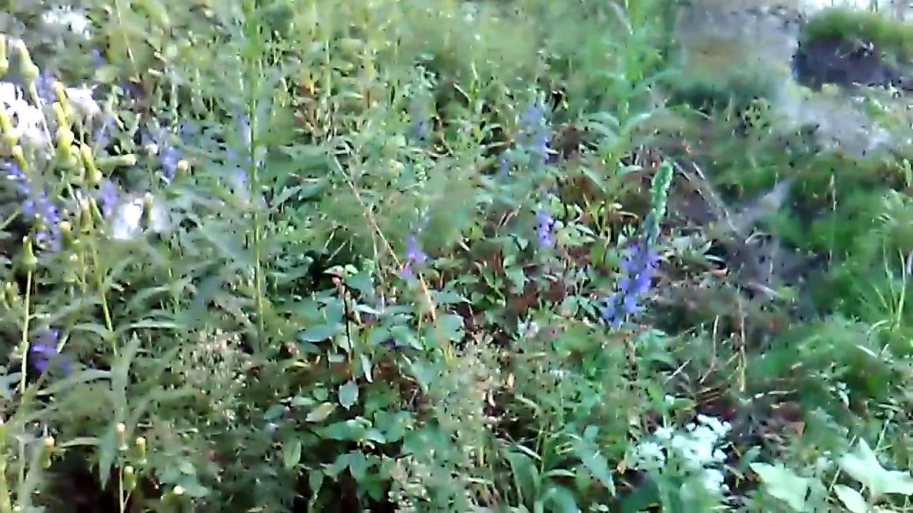 Blue Cardinal Flower Lobelia Siphilitica Youtube
