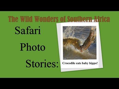 Safari Photo Stories: Crocodile eats baby hippo