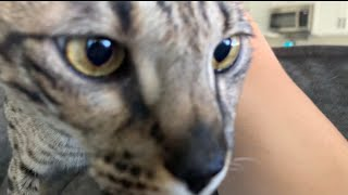 One Cat Meows And The Other One Purrs Loud! #cute #cat #video