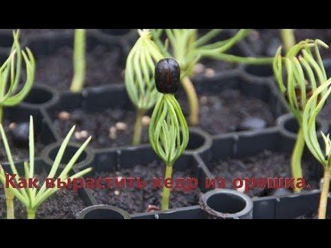 Как вырастить кедр из орешка в домашних условиях видео