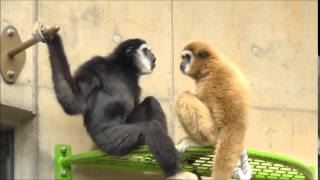 2014年9月9日 旭山動物園 シロテテナガザルのブラキエーションと歌声