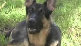 Zeus 9 Month Old Gsd German Shepherd Dog Bad Boy