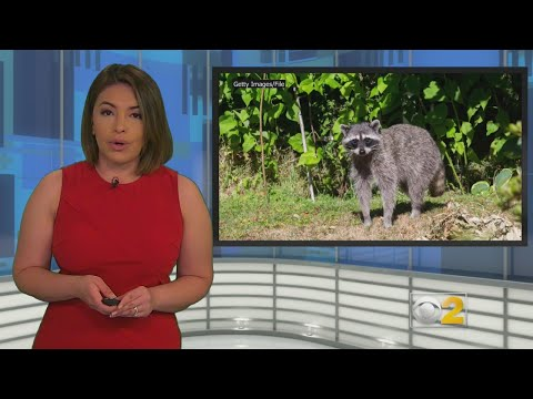 Lance Houston - Police Warning Chicago Area Dog Owners About Zombie Raccoons