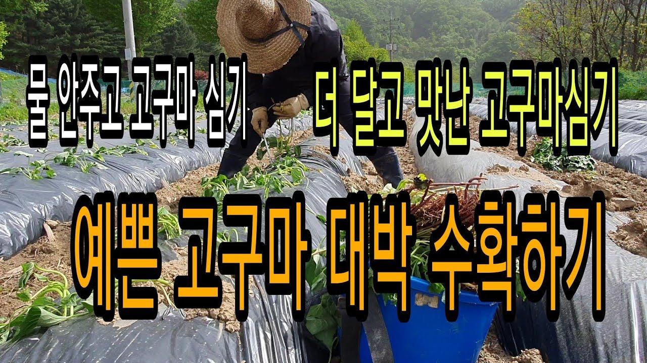 예쁜 고구마 대박 수확 물안주고 고구마 심기