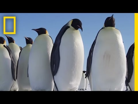 All About the Emperor Penguin | Continent 7: Antarctica