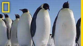 All About the Emperor Penguin | Continent 7  Antarctica