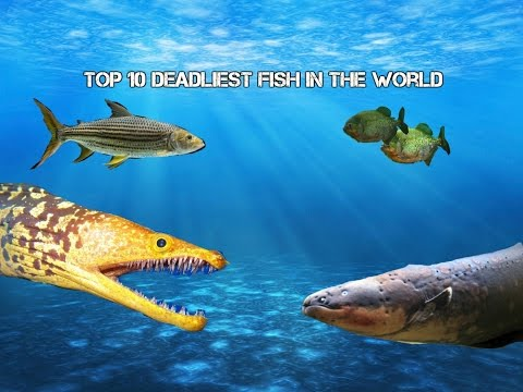 Top 10 Deadliest Fish In The World