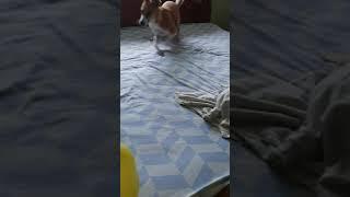 Dog frightened by balloon l Dog scared of balloon l #shorts #furrydoggysherry #furrydoggy.sherry