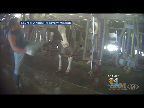 Activist Group: Video Shows Farm Owner Knew About Abuse Of Cows