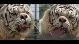 Kenny el primer tigre con síndrome de Down