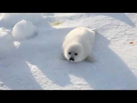 A bebe foca perdida no artico !!!