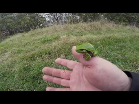 European tree frog/Gatalinka (Hyla arborea)