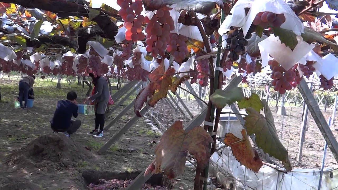 Ооо «поволжье нк» предлагает широкий ассортимент уникальных образцов садово-ягодных культур: семена, растения под маркой «русский огород». Сорта винограда.