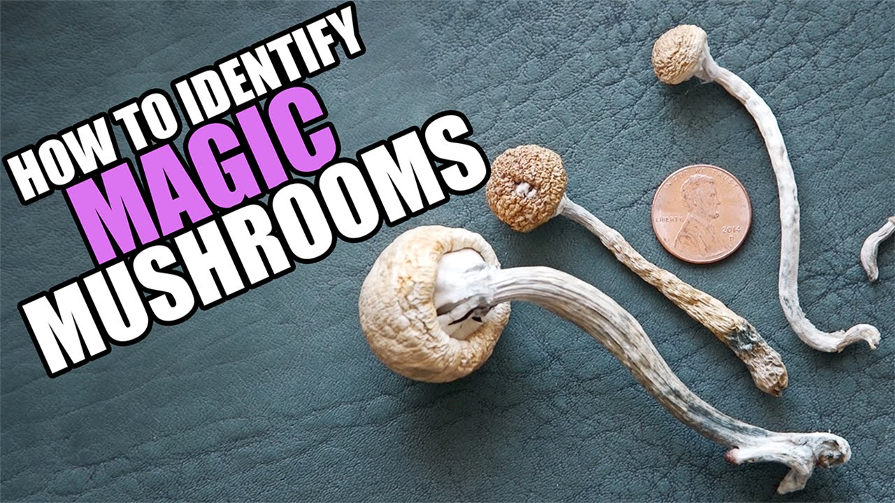 drug special this is how you identify magic mushrooms youtube