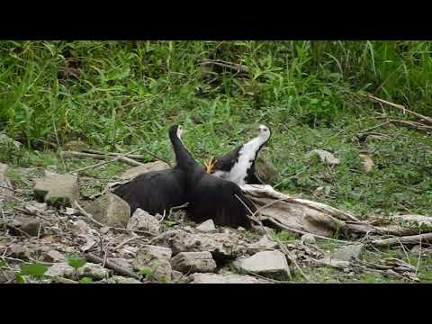Teritorial Fight of white breasted waterhen