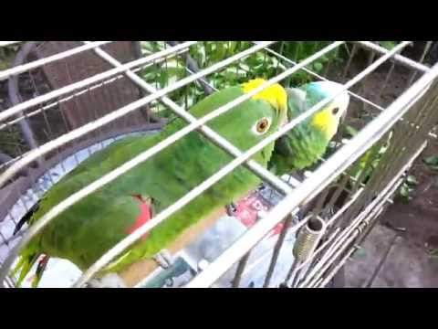 Amazon Parrot Chico Talking And Laughing