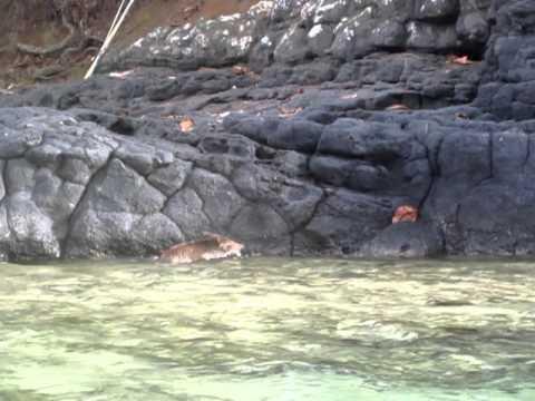 Wild boar swimming across ocean bay while kayaking Part 2