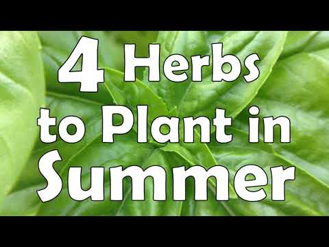 4 Herbs to Plant in Summer 🌿