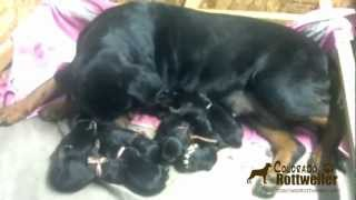 Rottweiler Valentines Day Puppies For Sale