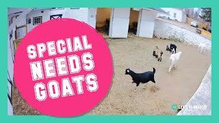 LIVE: Special Needs Goats!