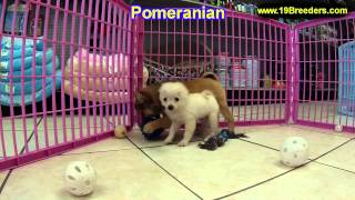 Pomeranian, Puppies, For, Sale, In, Columbus, Ohio, Oh, North Ridgeville, Mason, Bowling Green, Mass