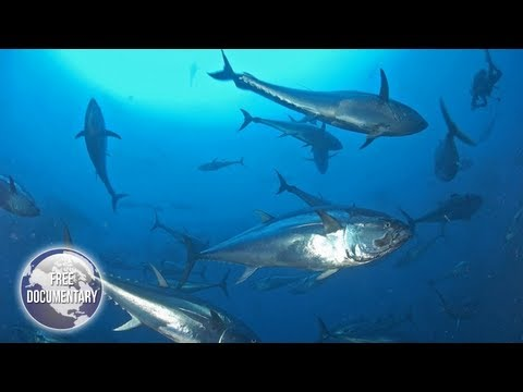 On The Brink Of EXTINCTION - Track Of The Tuna