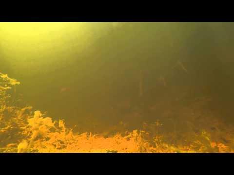 River Blackfish (Gadopsis Marmoratus)