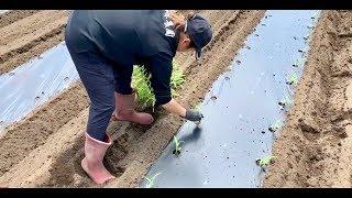 とうもろこし栽培で連作障害の対策をする 畑をリセット  Sweet corn  19/5/14