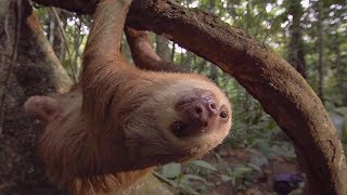 Sloth SECOND CHANCE: Released back into the Wild | Earth Unplugged