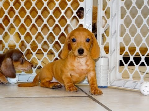 Miniature Dachshund, Puppies, Dogs, For Sale, In Jackson ...