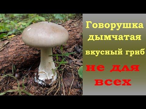 Говорушка дымчатая -  гриб НЕ ДЛЯ ВСЕХ
