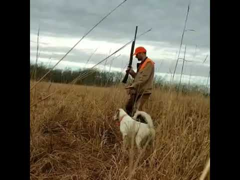 English Setter hunting pheasant