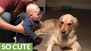 Baby boy finds Golden Retriever pretty hilarious
