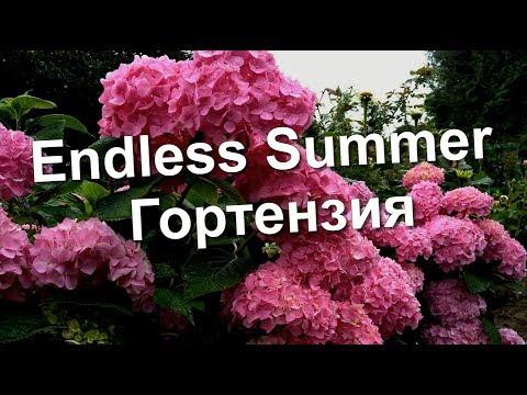 Гортензия Бесконечное Лето (Endless Summer)