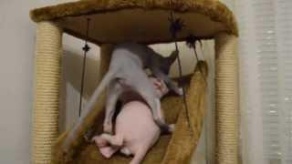 Котята Канадского Сфинкса (sphynx kittens- Amore Mew sphynx cattery) питомник Amore Mew.