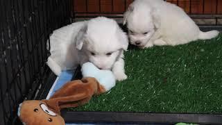 Coton de Tulear Puppies For Sale - Joy 5/28/21
