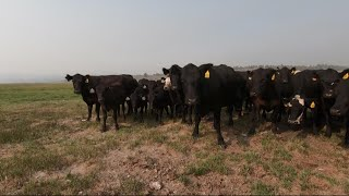 Cattle industry hit hard by Bootleg Fire