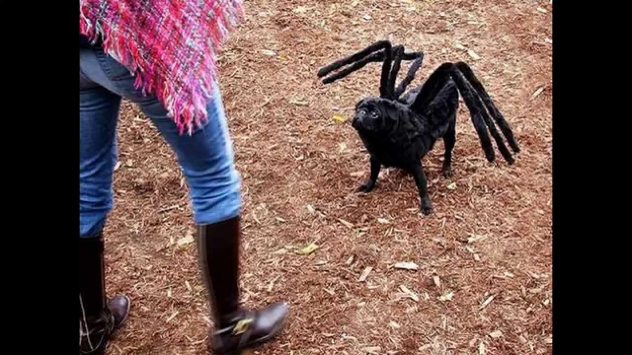 dog dressed as spider