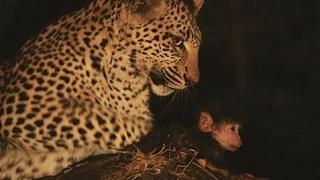 Leopardが食べて殺しますが、以下は、驚くべきことです Leopardが食べて...
