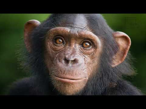 Interesting facts about Chimpanzee by weird square