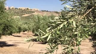 La Xylella Fastidiosa en Jaén - Lacontradejaén