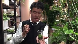苔テラリウム(ゼニゴケ)の紹介・育て方
