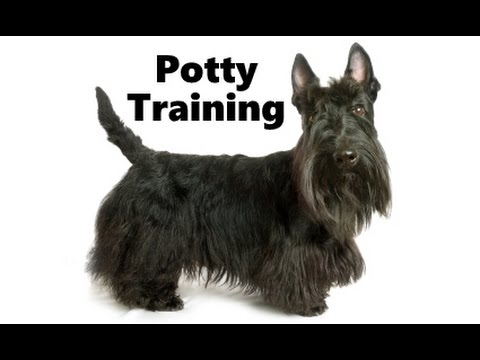 How To Potty Train A Scottie Puppy Scottish Terrier House Training
