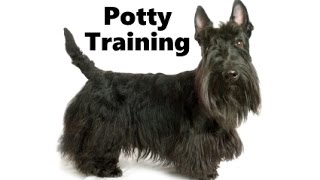 How To Potty Train A Scottie Puppy - Scottish Terrier House Training - Housebreaking Scottie Puppies
