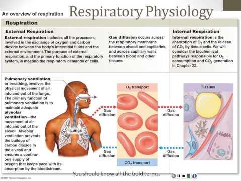 Respiratory System - Part 3