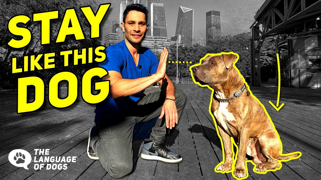 "TEACH DOGS ""STAY"" STEP BY STEP W/  DOG EXPERT- JUSTIN SILVER"